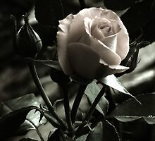 Moonlit Rose by sknelson