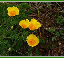 California Poppies by Derek McMaster