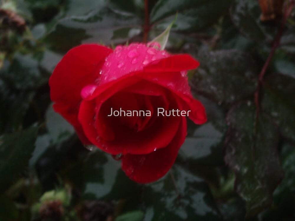 rose with rain by Johanna  Rutter