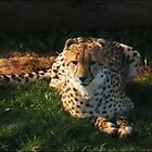 Cheetah - Monarto Zoo by Skye Davidson