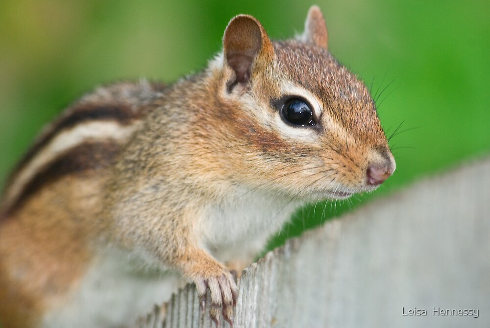 Eastern Chipmunk by Leisa  Hennessy