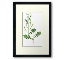 Wild Radish - Raphanus raphanistrum Framed Print