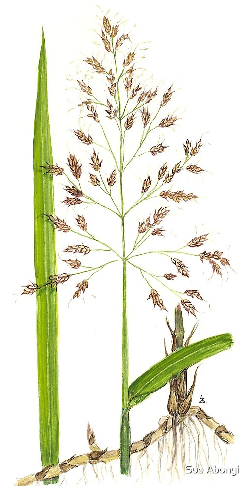 Johnson Grass - Sorghum halepense by Sue Abonyi