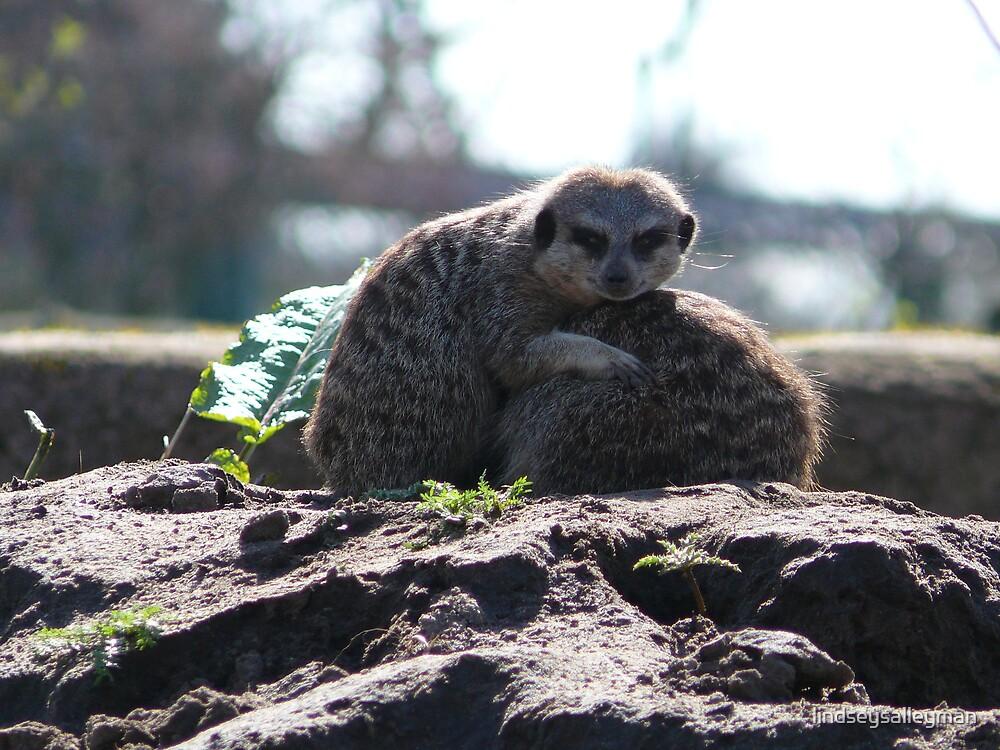 Meerkats by lindseysalleyman