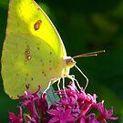 Male Cloudless Sulphur Butterfly by Suni Pruett