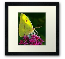 Male Cloudless Sulphur Butterfly Framed Print