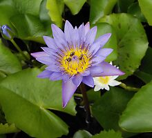 Water Lily by salsbells69