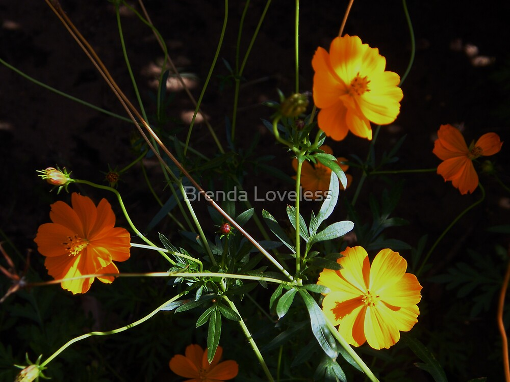 Coreopsis on Halloween by Brenda Loveless