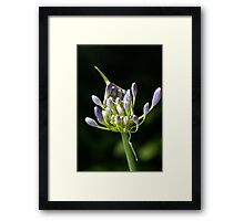 A Glow On Agapanthus Framed Print