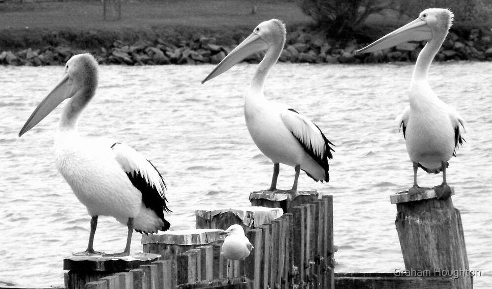 Pelicans at Goolwa by Graham Houghton