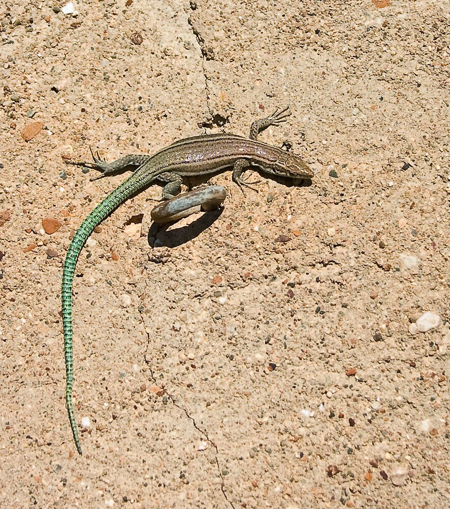 Green tailed Lizard by Johninmula