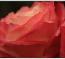 Mums Rose by Kimberley Gifford