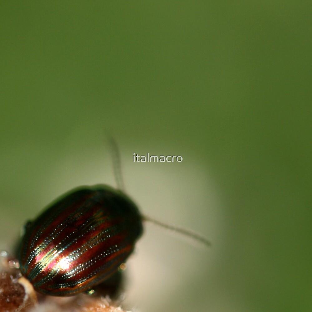 Rainbow Beetle by italmacro