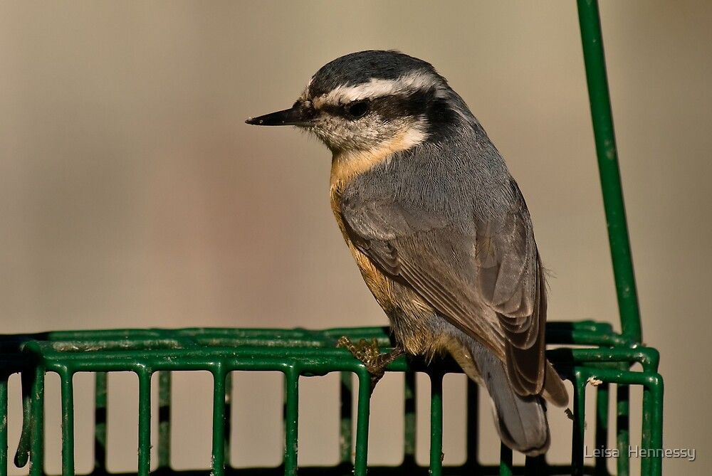 Red Breasted Nuthatch by Leisa  Hennessy