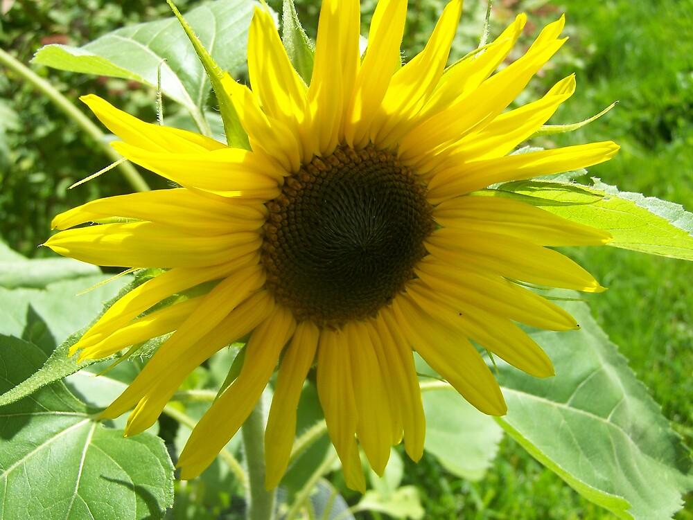 Sunny Sunflower by Gene Cyr