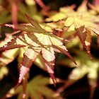 acer by james broadley