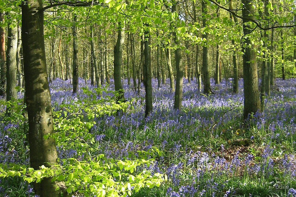 bluebell wood by odile