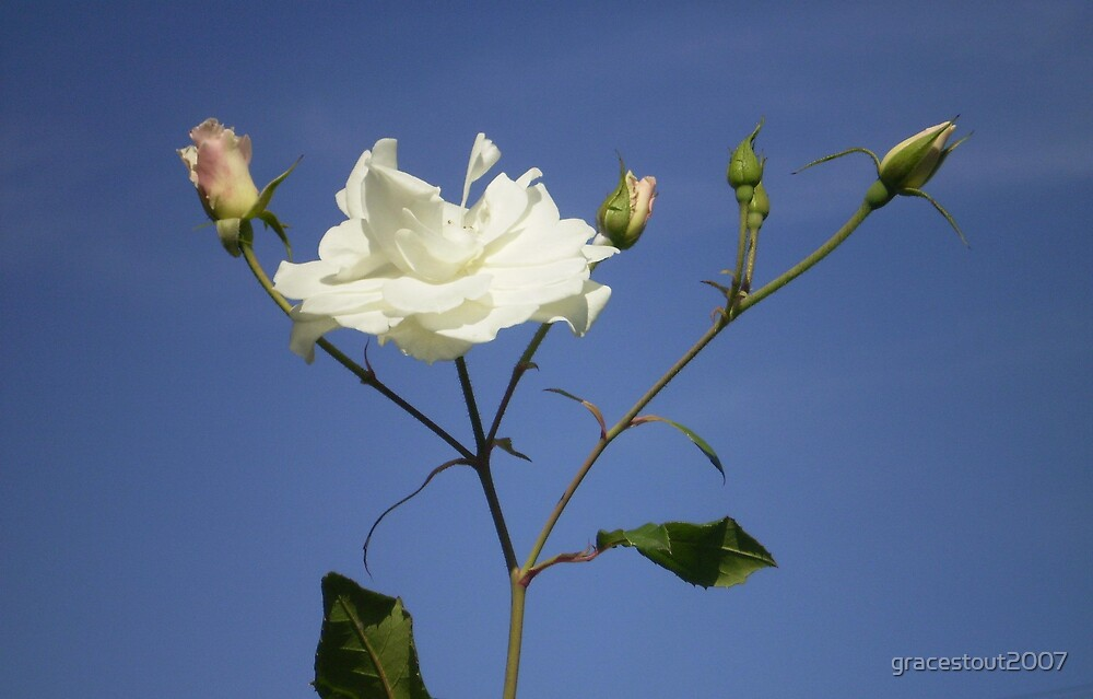WHITE ROSE by gracestout2007