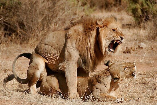 Lion Love by Steve Bulford
