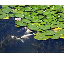 Koi and Lilly pad Photographic Print