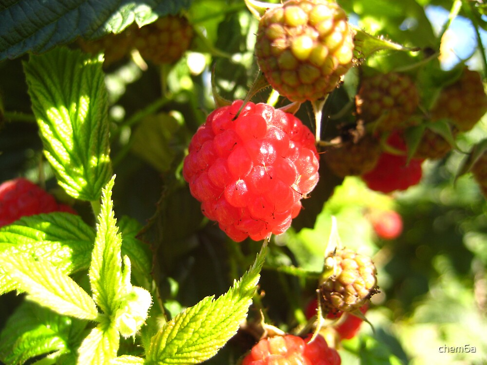 Raspberry in a bush by chem6a