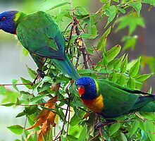 Rainbow Lorikeets by Steve Broadley
