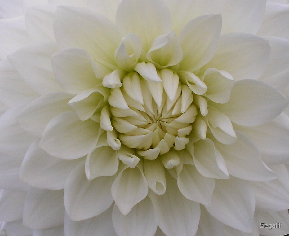 White Dahlia by Segalili