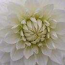 White Dahlia by Segalili