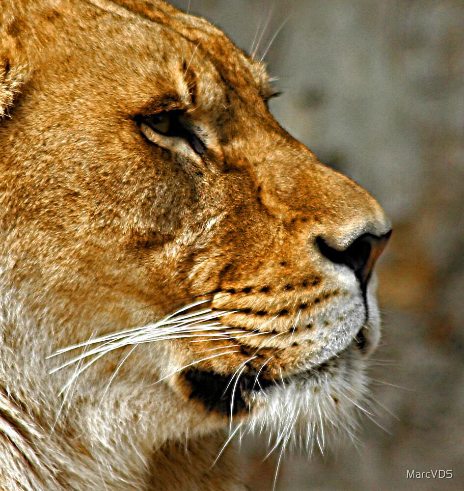 Lionnes by MarcVDS