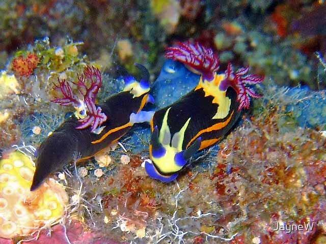 nudibranch by JayneW