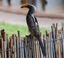 Hornbill by jmhenry