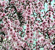 Cherry blossoms by Stak