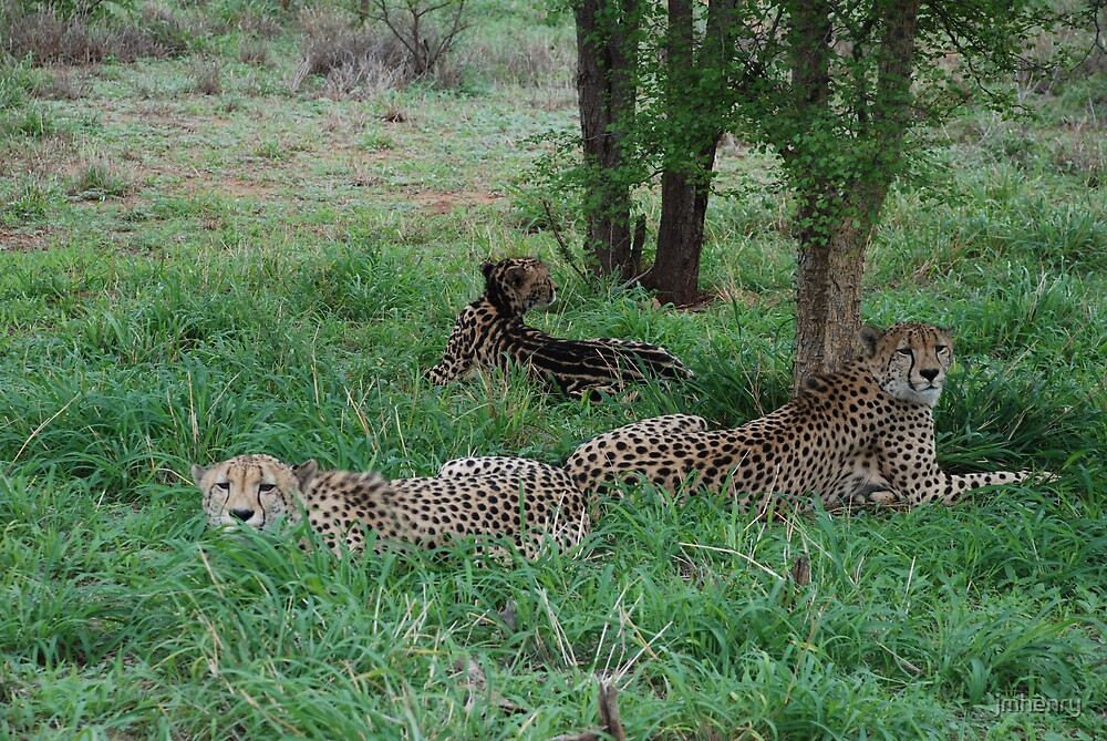 Cheetahs by jmhenry