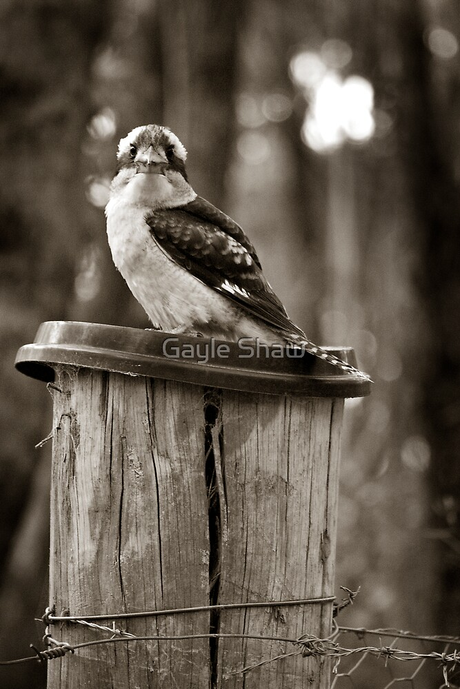 Country Kookaburra by Gayle Shaw