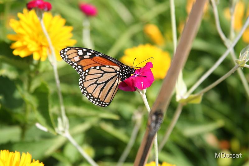 Butterfly of Summer by MDossat