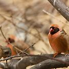 Southern Red Bishop by Dominika Aniola