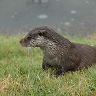 Otter in Winter (Lutra Lutra) by ©FoxfireGallery / FloorOne Photography