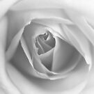 The snow melts, a rose unfolds... by Astrid Ewing Photography