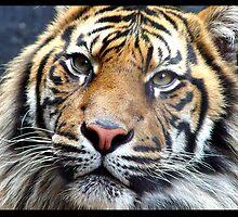 tiger by catalina acosta