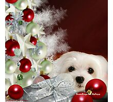 Snowdrop the Maltese at Christmas Photographic Print