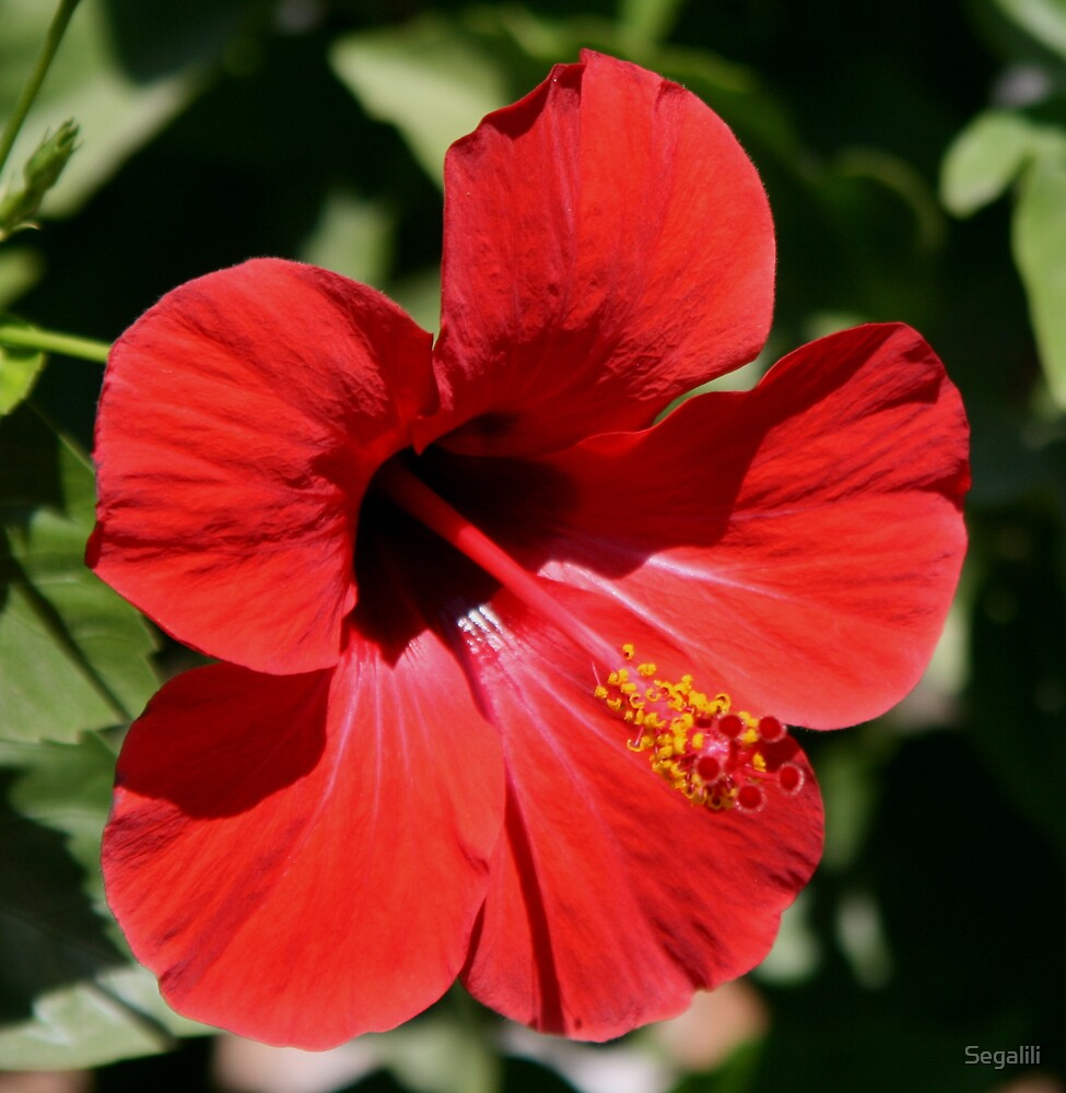 Red Hibiscus by Segalili