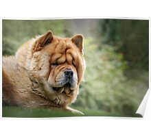 Chow-Chow  Poster