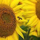 Sunflowers by Tim Yuan
