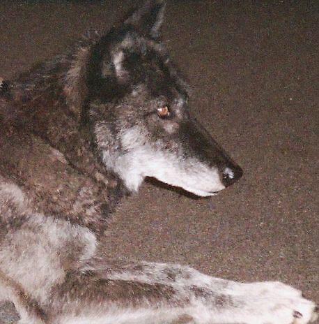 Grey Wolf 3 by RLHall