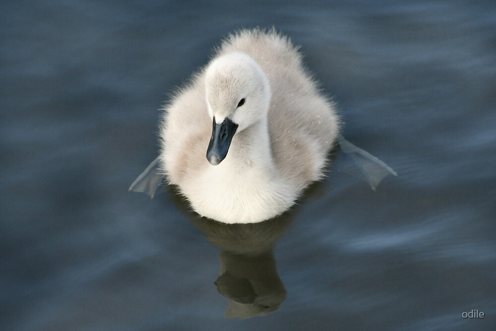 lone cygnet on the river by odile