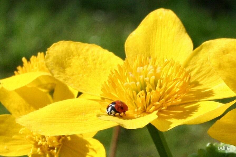 ladybird on a flower by odile