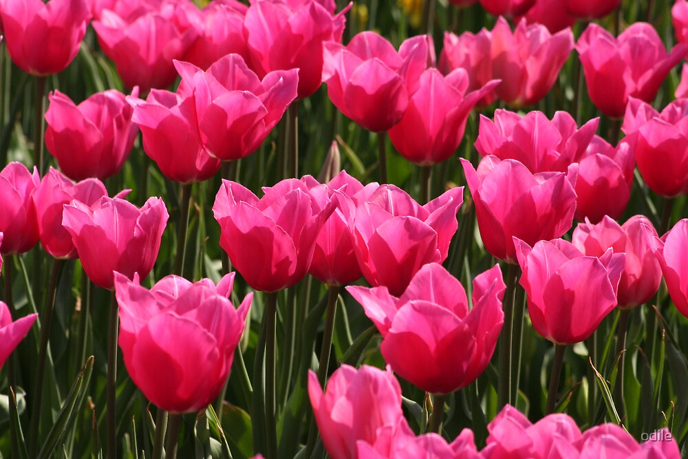 tulips by odile