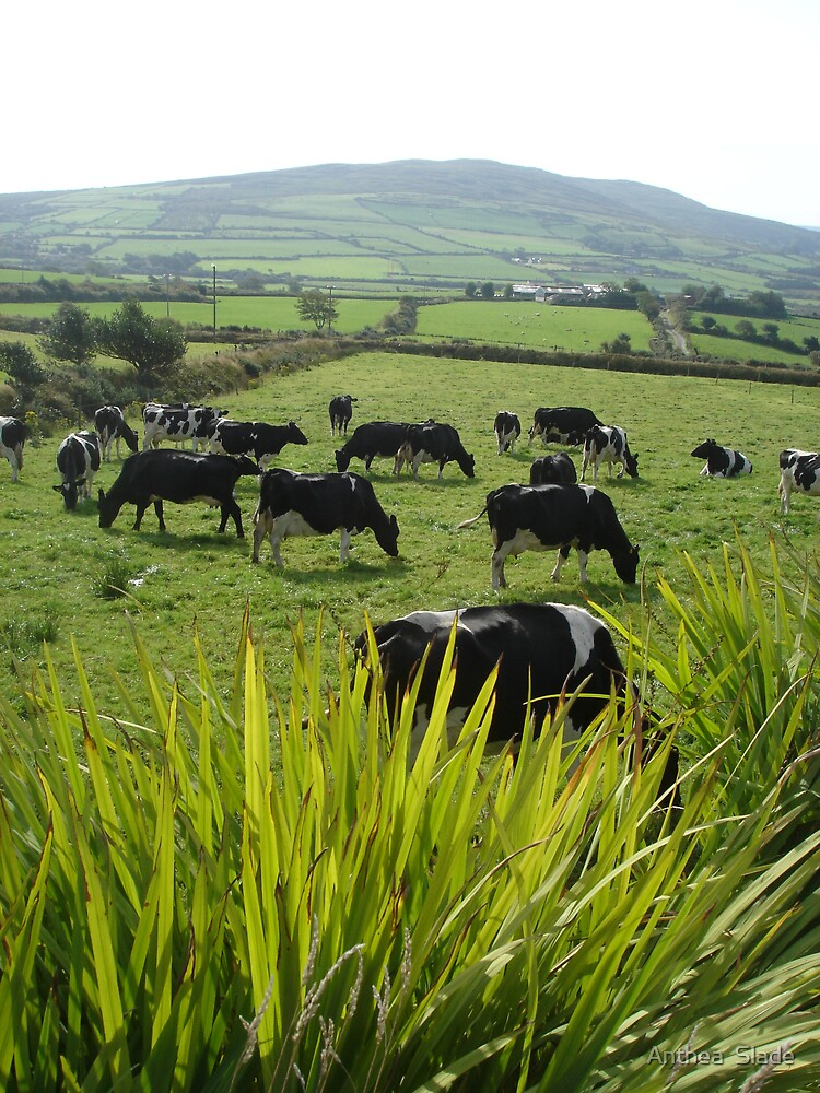 Cows of Kerry by Anthea  Slade