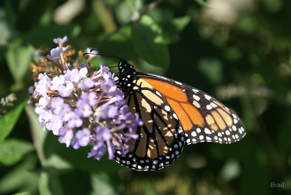 Monarch Butterfly by Brad