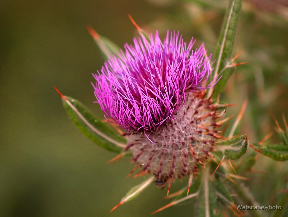 Thistle by WatscapePhoto